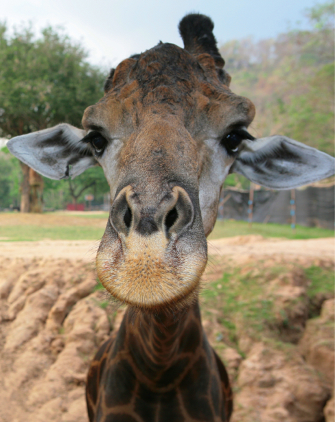 Фотообои Жираф портрет (animals-0000268)