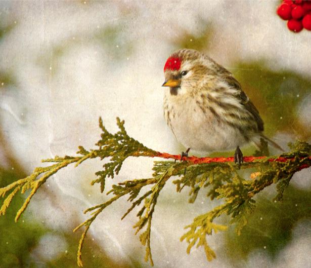 Фотообои зимняя птица на ветке (animals-0000315)