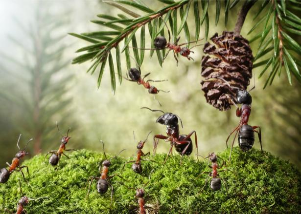 Фотообои муравьи и шишка (animals-0000325)