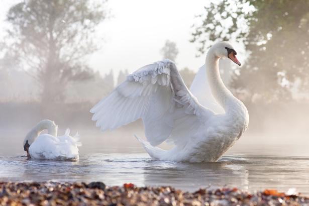 Фотообои белый лебедь (animals-0000346)