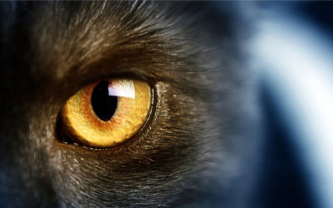 Фотообои глаз, черная кошка (animals-0000367)