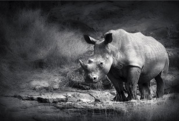 Фотообои носорог черно-белое фото (animals-0000372)