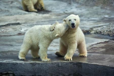 Фотообои пара белых медвежат (animals-0000507)