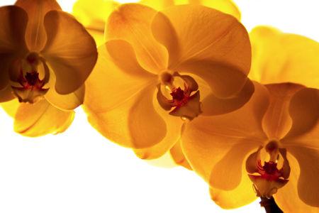 Фотообои стен Ветка желтой орхидеи (flowers-0000454)