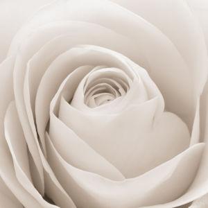 Обои фото цветок белая роза (flowers-0000469)