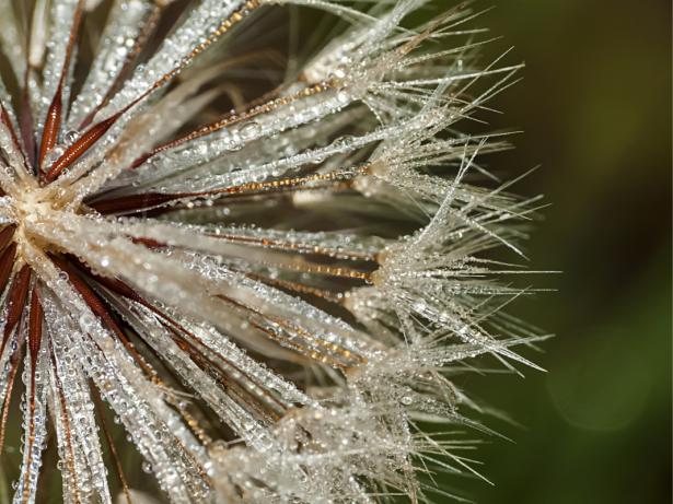Фотообои роса одуванчик (flowers-0000728)