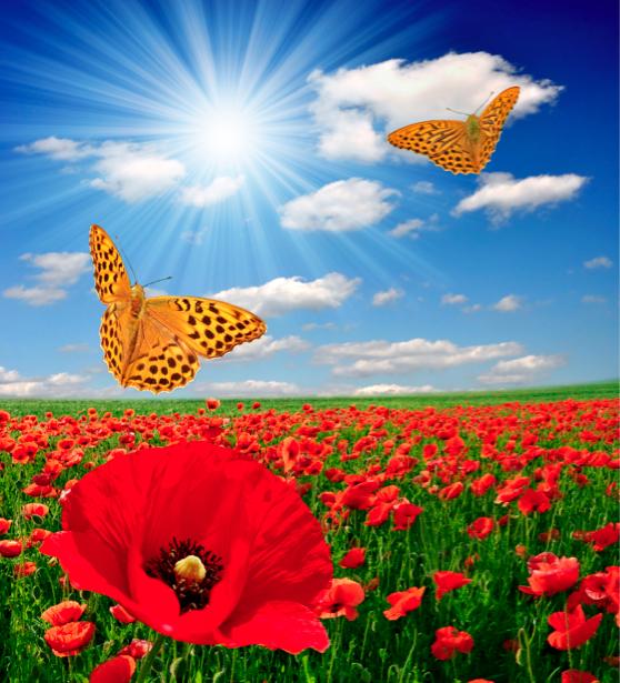Фотообои природа поле маков бабочки (nature-00107)
