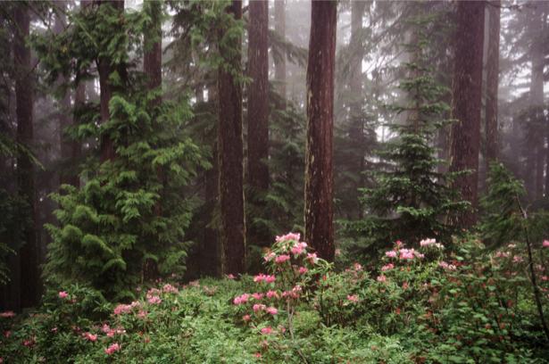 Фотообои сосновый лес (nature-00266)