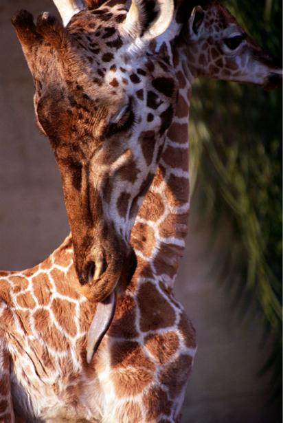 Фотообои портрет жирафа (animals-0000079)