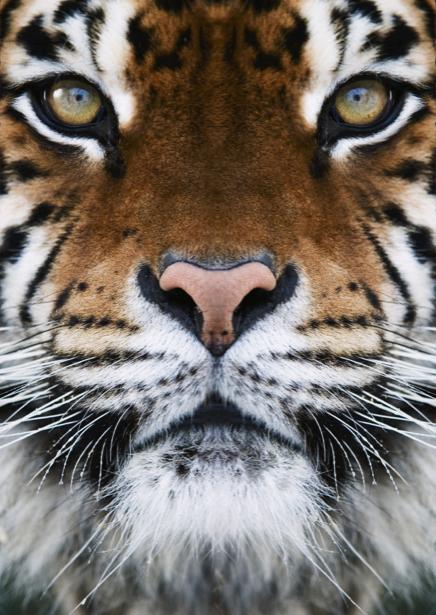 Фотообои тигр усатый (animals-0000177)