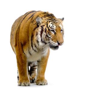 Фотообои на белом тигр (animals-0000251)