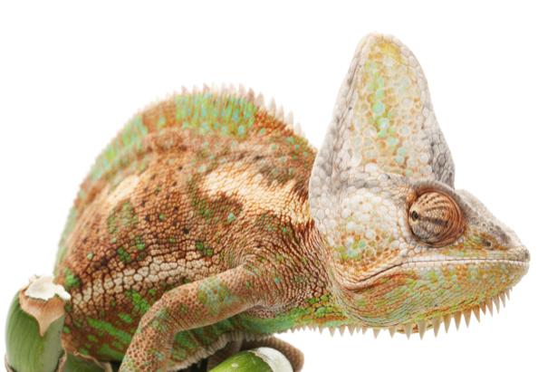 Фотообои хамелеон на белом фоне (animals-0000359)