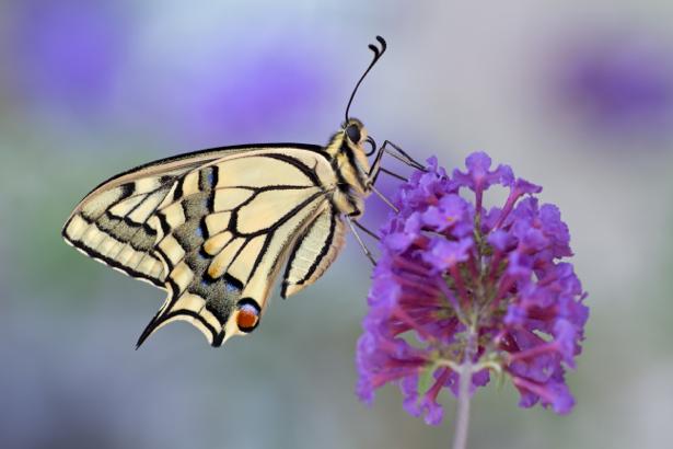 Фотообои бабочка на цветке (animals-0000361)
