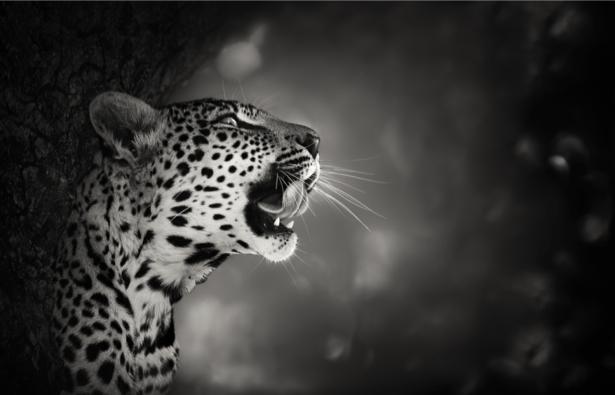 Фотообои гепард черно-белое фото (animals-0000375)
