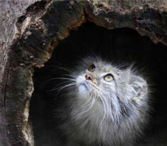 Фотообои Манул (animals-0000424)