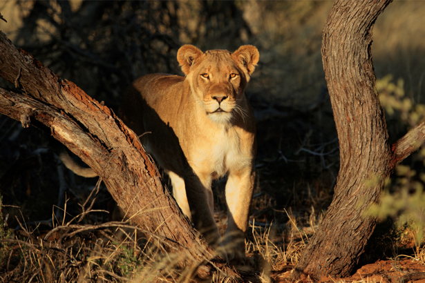 Фотообои Львица в лесу (animals-0000459)