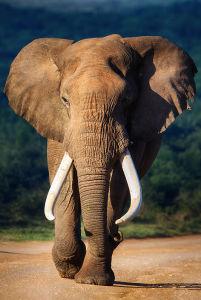 Фотообои Красавец слон (animals-558)
