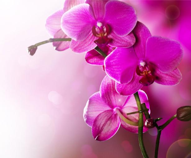 Розовая орхидея Фотообои на стену цветы (flowers-0000045)