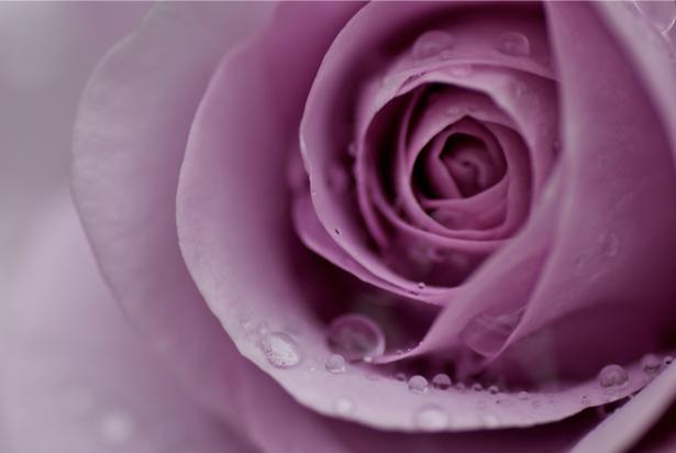 Лиловая роза фотообои цветы фото (flowers-0000067)
