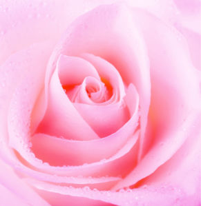 Обои фото Розовая роза с каплями росы (flowers-0000341)