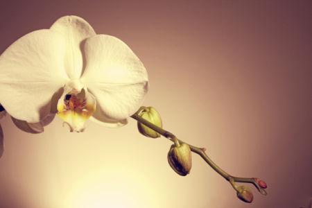 Фото обои на стену ветка белой орхидеи (flowers-0000458)