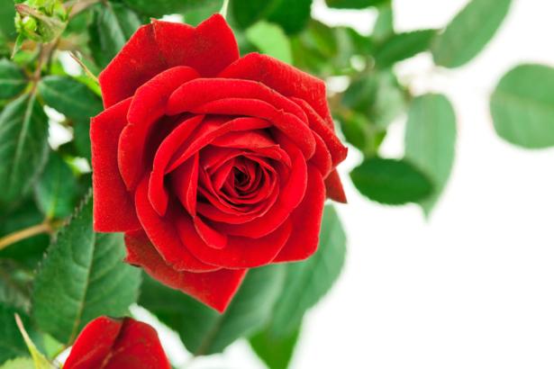 Фото обои цветок красная роза (flowers-0000501)