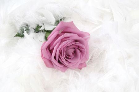 Фотообои Роза с белыми перьями (flowers-804)