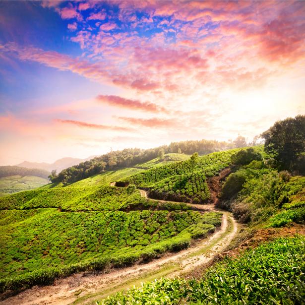 Фотообои чайное поле закат (nature-0000640)