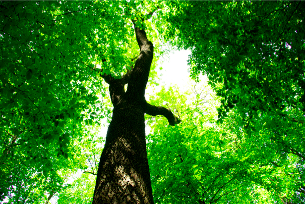 Фотообои лес дерево крона (nature-00245)