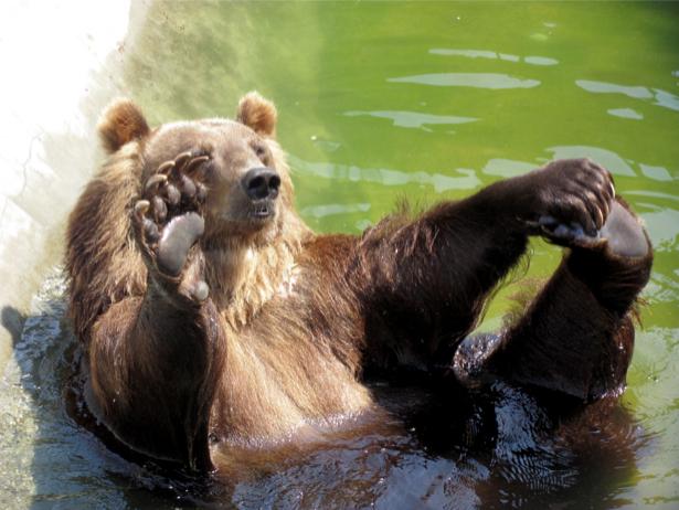 Фотообои бурый медведь которому хорощо (animals-0000129)
