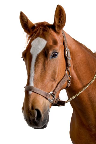 Фотообои конь на белом фоне (animals-0000279)