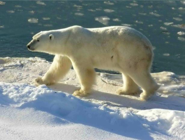 Фотообои белый медведь снег (animals-0000313)