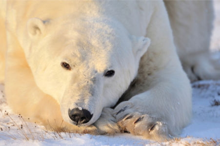 Фотообои белый медведь фото (animals-0000503)