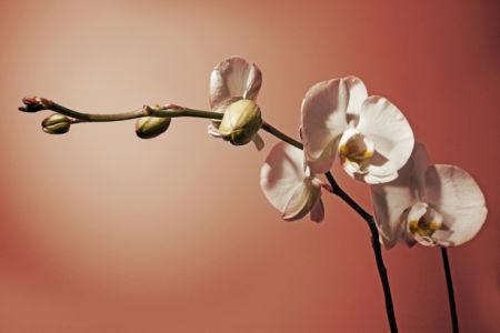 Обои для стен Ветка белой орхидеи (flowers-0000452)