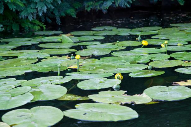 Фотообои река лилии (nature-0000661)