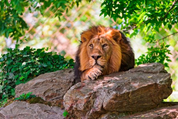 Фотообои лев в камнях в природе (animals-0000022)