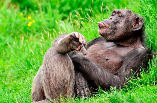 Фотообои обезьяна на отдыхе горилла (animals-0000023)