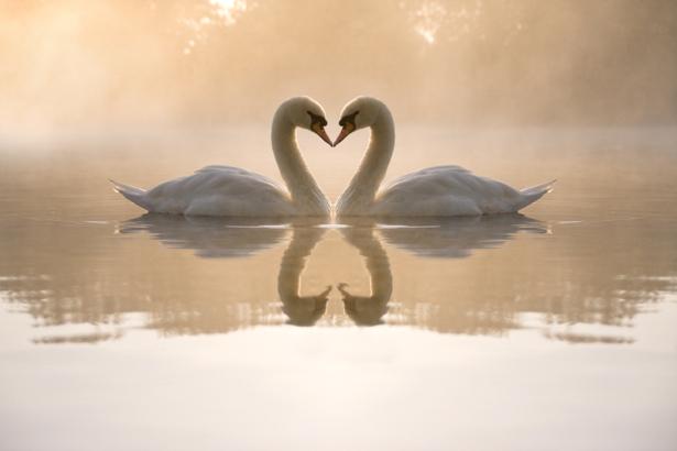 Фотообои лебеди сердечко (animals-0000135)