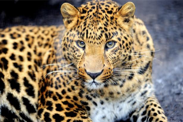 Фотообои взгляд леопарда (animals-0000307)