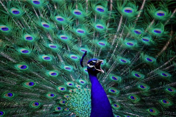 Фотообои голубой Павлин (animals-0000404)