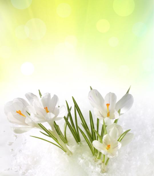 Обои для стен фото Белые крокусы (flowers-0000129)