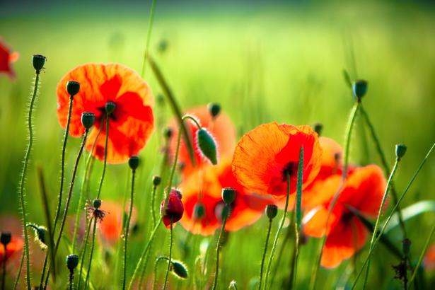 Полевые маки Обои фото цветы (flowers-0000151)