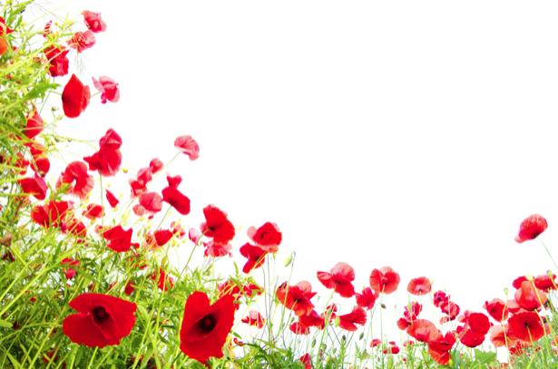 Обои фото цветы Полевые маки на белом фоне (flowers-0000153)