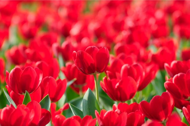 Фотообои на стену цветы -  Поле тюльпанов (flowers-0000257)