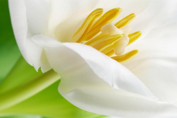 Цветочные обои белые тюльпаны (flowers-0000448)