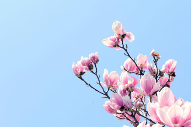 Комнатные обои цветущая ветка магнолии (flowers-0000490)