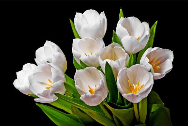 Фотообои Белые тюльпаны (flowers-738)