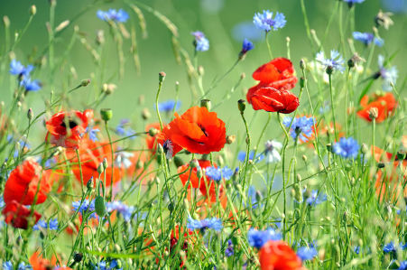 Фотообои Маки и васильки на лугу (flowers-789)