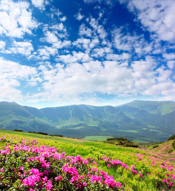 Фотообои природа азалии в поле (nature-00326)