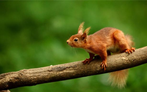 Фотообои белка на ветке (animals-0000078)